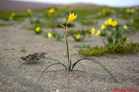 flowers of the Atacama Desert