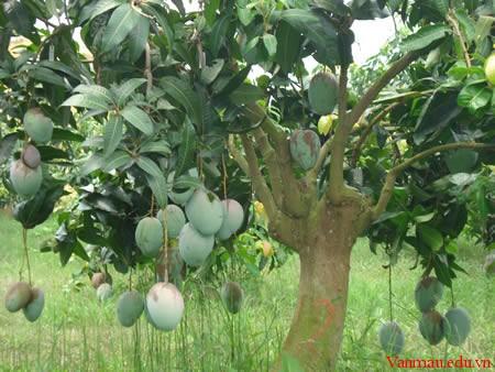 ស្វាយ  cây xoài mango