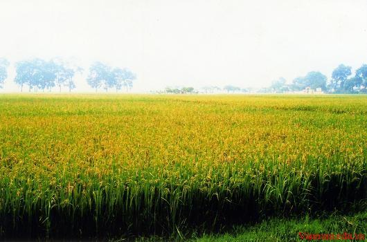 Tả cánh đồng lúa quê em vào buổi sáng