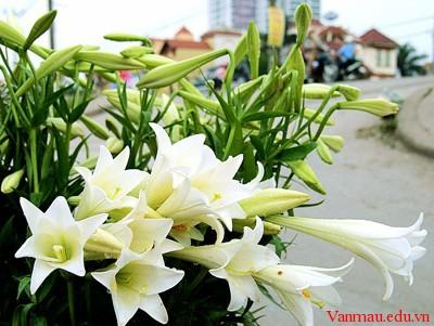 Tả cây hoa huệ