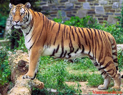 34doi - Tả con hổ trong vườn thú