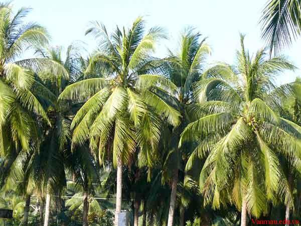 ed52 - Thuyết minh về cây dừa