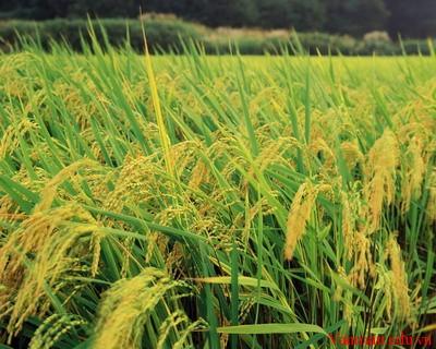 suat - Thuyết minh về cây lúa nước