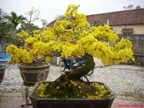 ma2222vang - Tả cây hoa mai