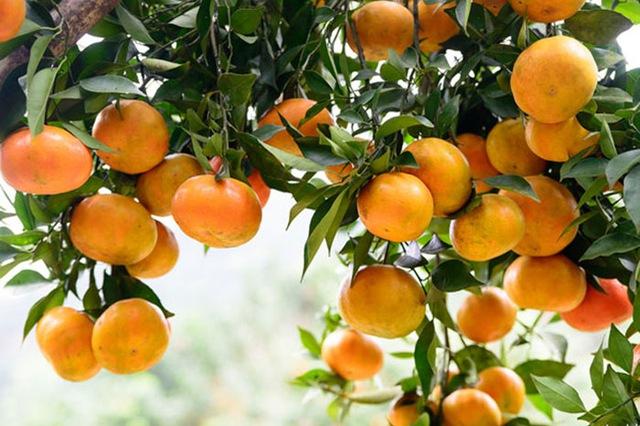 Tả quả cam mà em yêu thích nhất