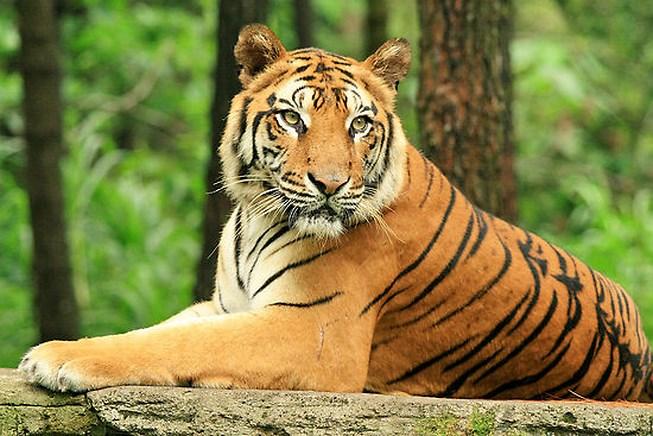 Em hãy miêu tả con hổ mà em có dịp trông thấy hay nhất