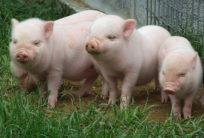 Em hãy tả con lợn nhà em nuôi hay nhất