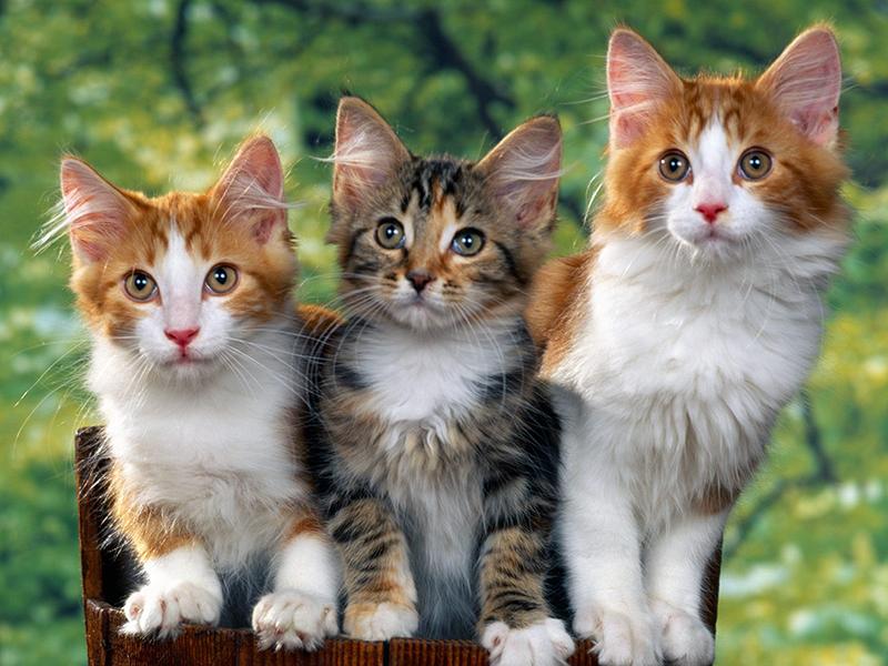 Em hãy tả con mèo nhà em nuôi hay nhất